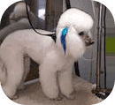 Puffy Poodle Being Groomed Palm Harbor