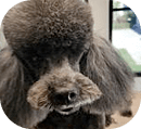 Poodle Shaping And Grooming